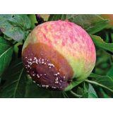 Монилиоз плодовых