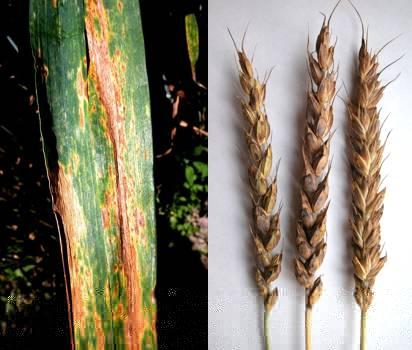 Бактериоз пшеници