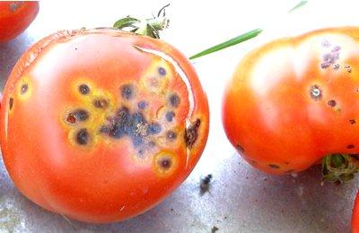 Бактериоз томатов