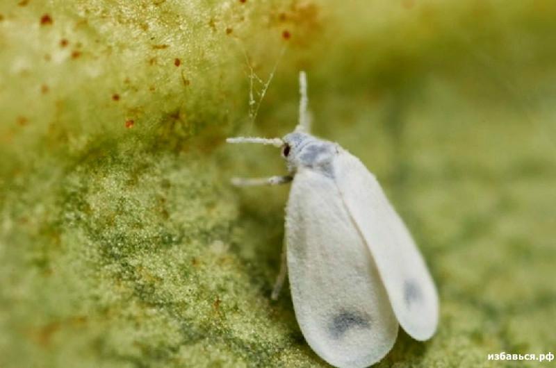 Белокрылка на капусте