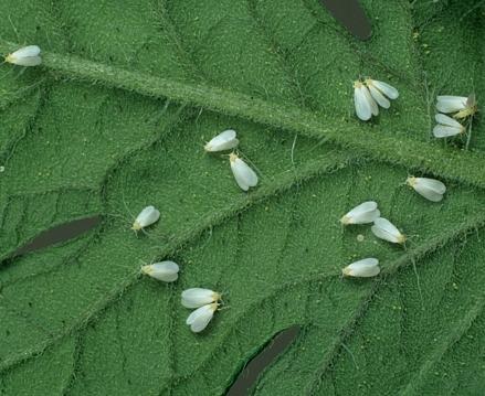 Белокрылка на огурцах