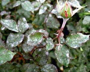 Оидиум на розах
