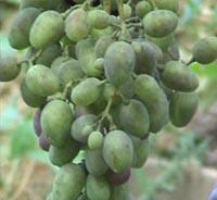 Оидиум на винограде