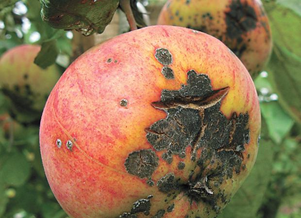 парша на яблоне фото как бороться