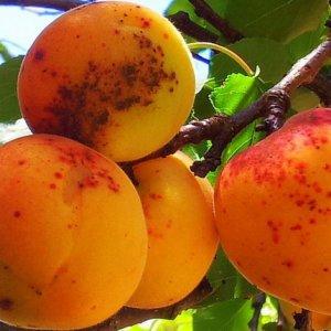 Парша абрикоса